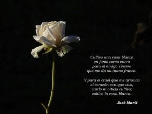 cultivo-una-rosa-blanca-e1344097679699